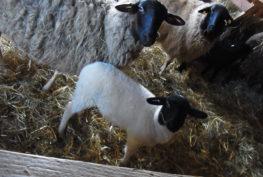 Zwei Schafe und ein weißes Lämmchen mit schwarzem Kopf gucken in die Kamera.