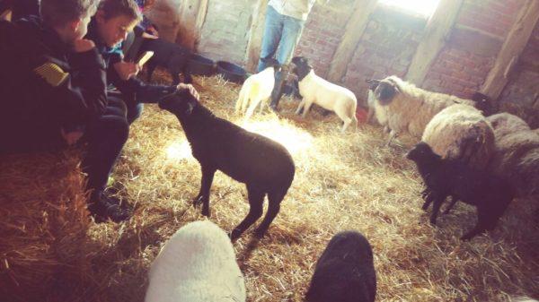 Ein schwarzes Lamm wird gestreichelt. Die anderen Schafe stehen im Schafsstall.
