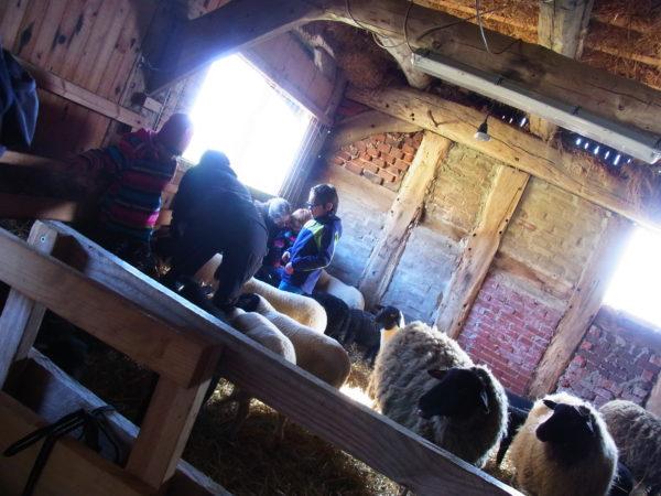 In einem Schafsstall sieht man Kinder, die die Schafe angucken.