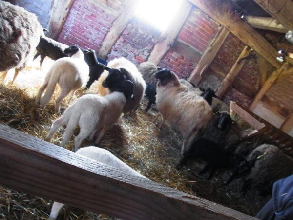 Schafe im Schafsstall.